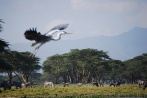 Great Blue over the Herds by Mindy Agler